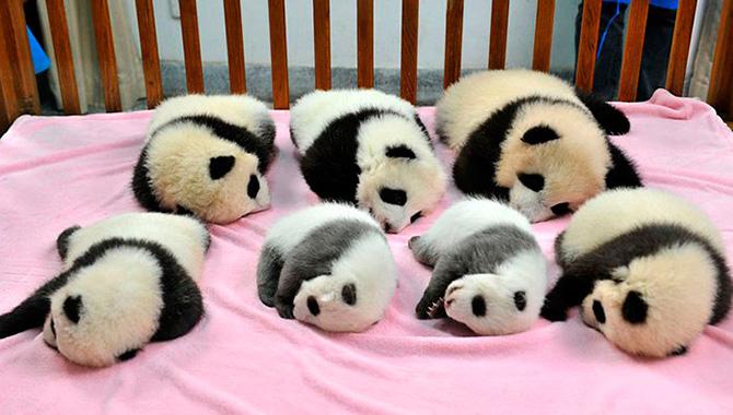 creche-de-pandas