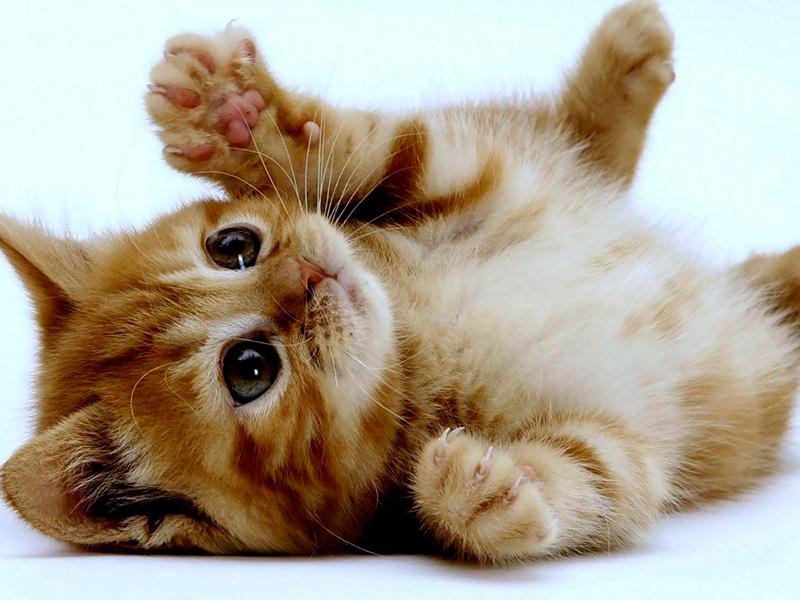 insuficiência-renal-em-gatos-2